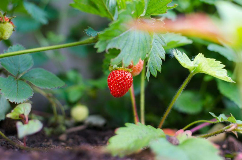 USHEALTH Group Gardening Series Fruit
